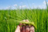 Groene gerst in de hand — Stockfoto