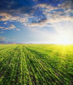 Green barley in sunset — Stock Photo