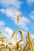Ripe wheat ears against sky — Stock Photo