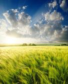Green barley — Stock Photo