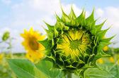 зеленый подсолнухи — Стоковое фото
