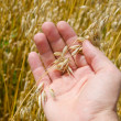 Gold harvest in hand - Stockfoto
