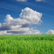 Field with green Sudan grass - Stock Photo