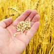 Gold harvest in hand — Stock Photo