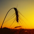 Stock Photo: Wheat on sunset