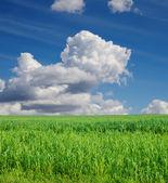 Field with green Sudan grass — Stock Photo