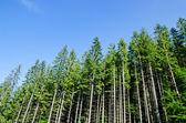 Kiefernwald — Stockfoto