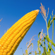 Stock Photo: Raw maize