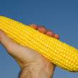 Golden maize in hand — Stock Photo