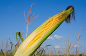 Corn on the cob with husk — Stock Photo