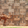Camel at the zoo — Stockfoto