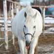 White horse showing tongue - Stock Photo