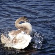 Young swan waving his wings and calling out - Stock Photo