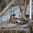 Hooded Crow sitting on the branch and holding ribbon in his beak - Stock Photo