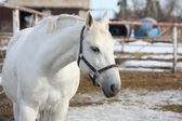 White horse with darb blue headcollar at the farm — Stock Photo