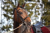 Beautiful bay horse with bridle and saddle — Stock Photo