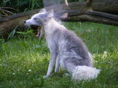 Yawning arctic fox in summer — Stock Photo