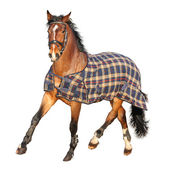 Trotting brown horse in clothe isolated on white — Stock Photo