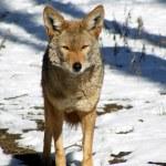 Постер, плакат: Coyote standing in snow