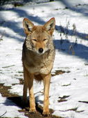 Coyote standing in snow — Stock Photo