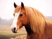 Close up of palomino draft horse — Stock Photo