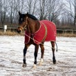 Stock Photo: Bay horse in red jute rug on lunge line