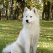 Stock Photo: Samoyed sitting in forest