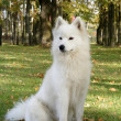 Постер, плакат: Samoyed sitting in the forest