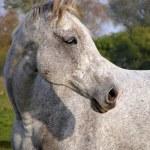 Постер, плакат: Gray horse portrait