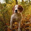 Постер, плакат: Beagle standing in bushes in forest