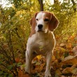 Stock Photo: Beagle standing in bushes in forest