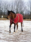 Bay horse in red jute rug on lunge line — Stock Photo