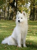 Samoyed sitting in the forest — Stock Photo