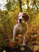 Beagle standing in bushes in forest — Stock Photo