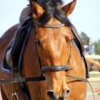 Bay horse with brdile ans saddle - Stock Photo