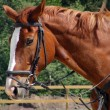 Chestnut sport horse with black bridle — Stock Photo