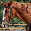 Chestnut sport horse with black bridle - Stock Photo