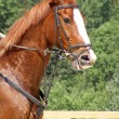 Chestnut horse portrait — Stock Photo