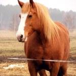 Постер, плакат: Portrait of palomino heavy horse