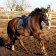 Stock Photo: Brown horse cantering