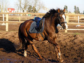 Brown horse cantering — Stock Photo