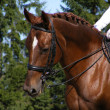 Brown sport horse with bridle - Stock Photo