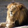 Stock Photo: Lying lion portrait