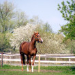 Brown sport horse in spring - Stock Photo