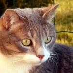 Постер, плакат: Gray cat portrait