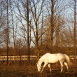 White horse eating old grass in the evening sun light — Stock Photo