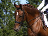 Brown sport horse with bridle — Stock Photo