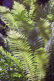 Fern thickets — Stock Photo