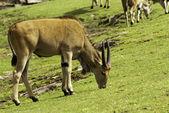 Antilop — Stock Photo