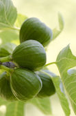 Green figs — Stock Photo